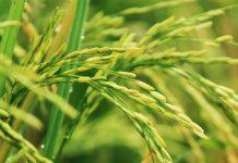 serangan hama padi