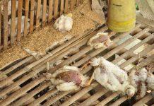 Ratusan ayam mati