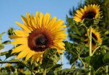 Berkebun bunga matahari