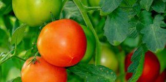 penyakit tanaman tomat