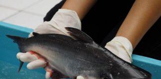 Ikan patin Indonesia