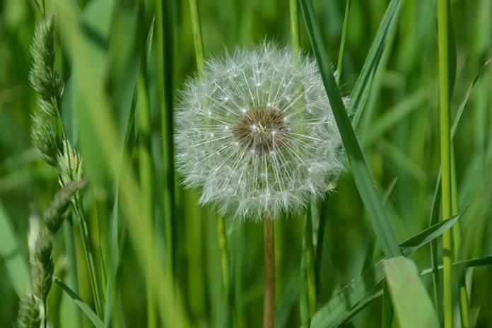 Tanaman dandelion