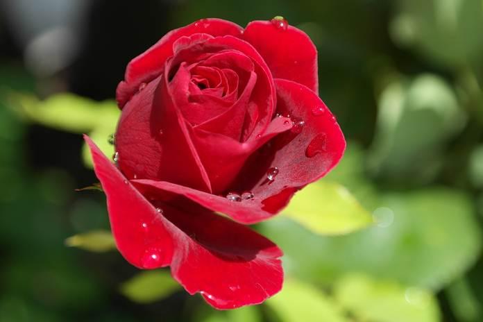 hidroponik mawar