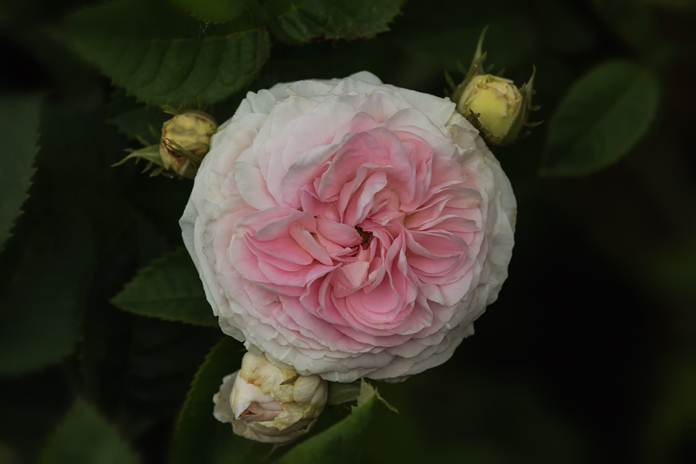Tanaman mawar