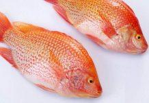 jenis ikan nila