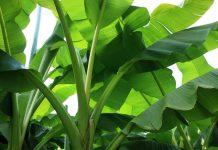 kegunaan daun pisang