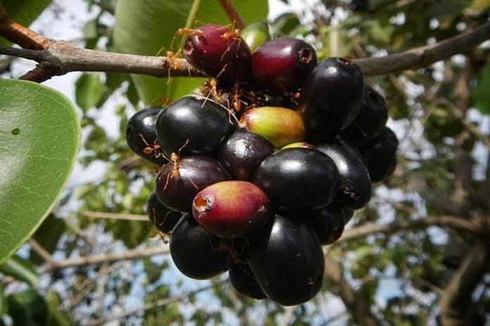 manfaat buah jamblang