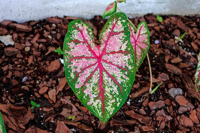 tanaman hias caladium