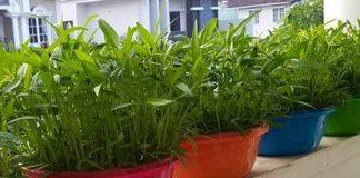 menanam kangkung
