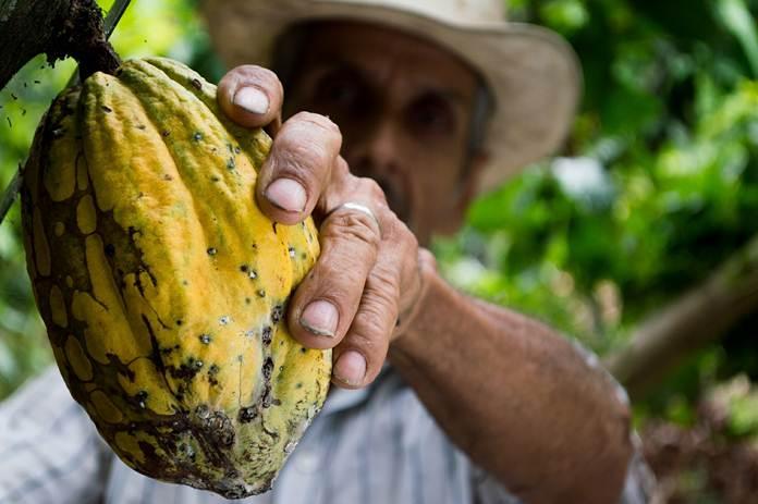 revitalisasi kakao
