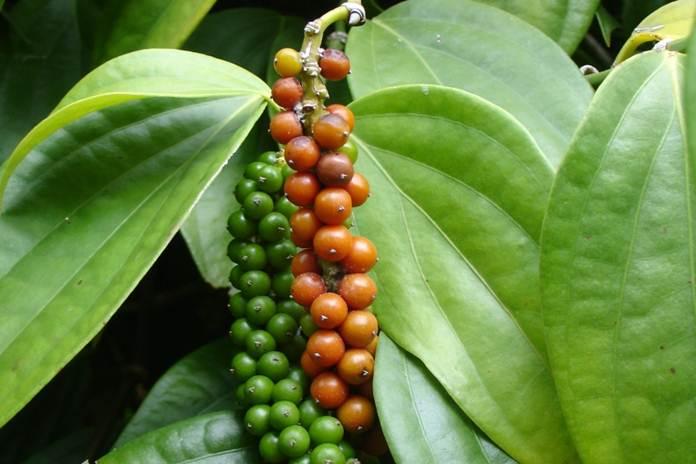 perbanyakan tanaman lada