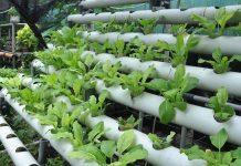 pengaruh air hujan untuk tanaman hidroponik