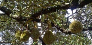 perkebunan durian di Malaysia