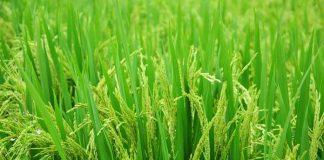 anakan padi