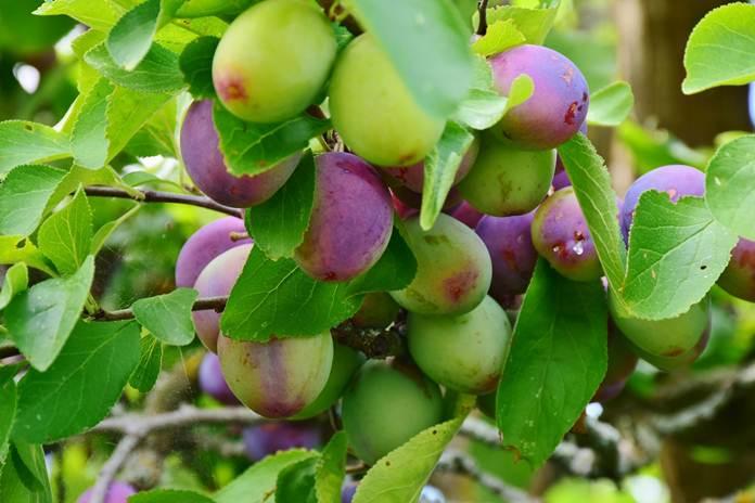 Tabulampot plum