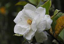 tanaman indah kacapiring
