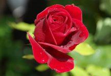 perawatan bunga mawar
