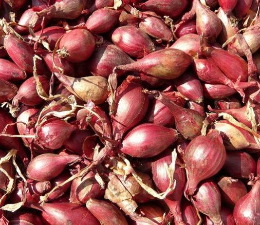 Budidaya bawang merah off season