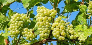 kebun anggur di halaman
