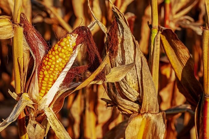 Panen raya jagung