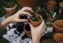 menanam kaktus