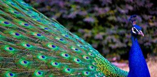 burung tercantik