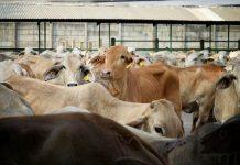 ekspor peternakan
