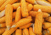 impor jagung