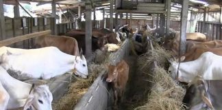 kesejahteraan peternak sapi