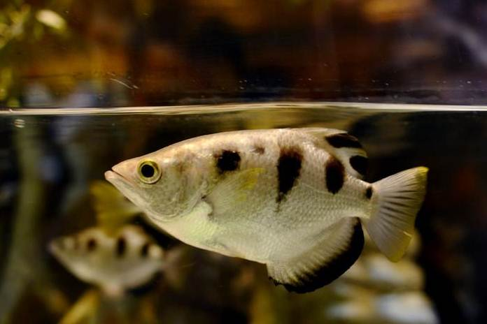 ikan memangsa hewan daratan