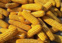 ekspor jagung