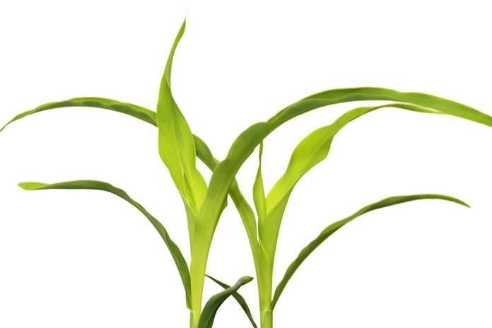 rekayasa fotosintesis