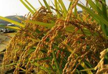 panen padi pada 2019