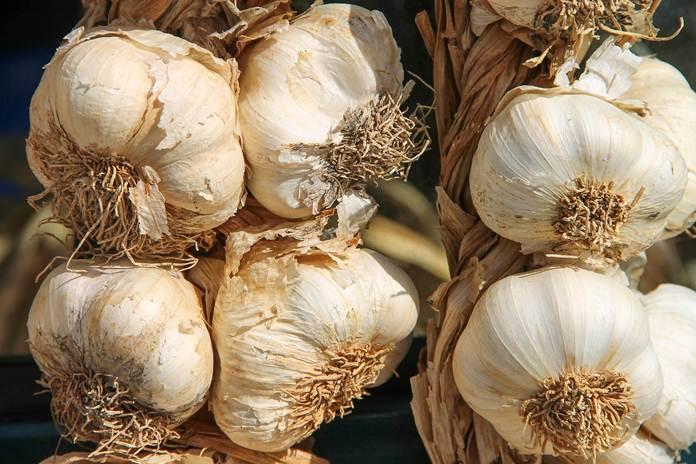 tanam bawang putih