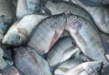kulit ikan nila