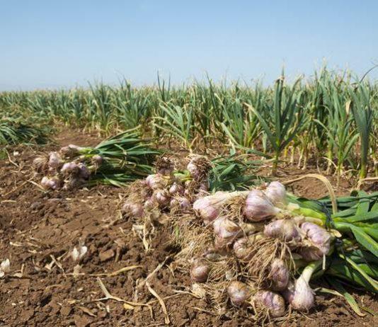 Pembibitan bawang putih