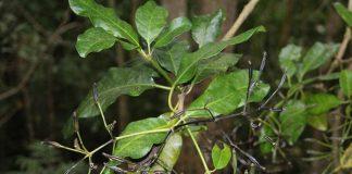 Pohon Pisonia