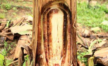 Ribuan pohon pisang