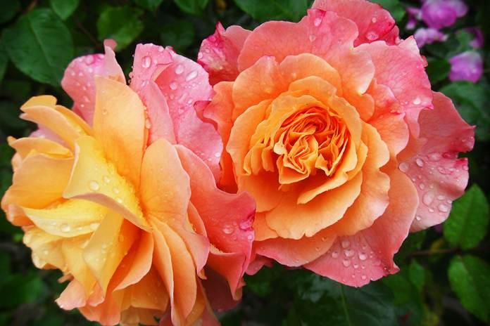 fungsi aroma pada bunga