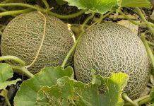 Merawat tanaman melon di musim hujan