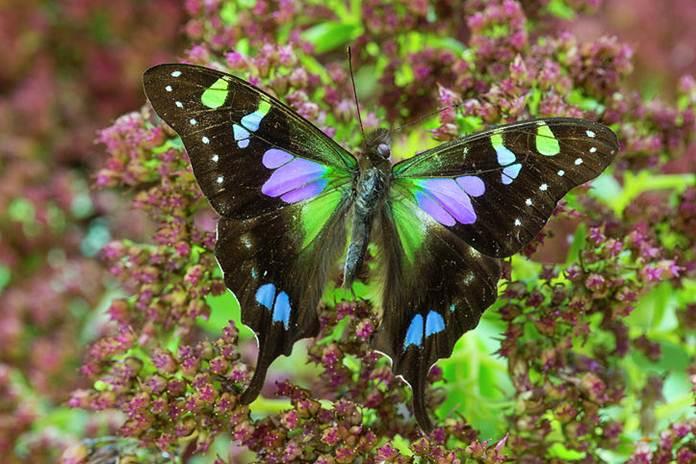 Kupu-kupu Paling Indah