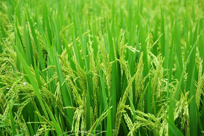 lumbung padi nasional