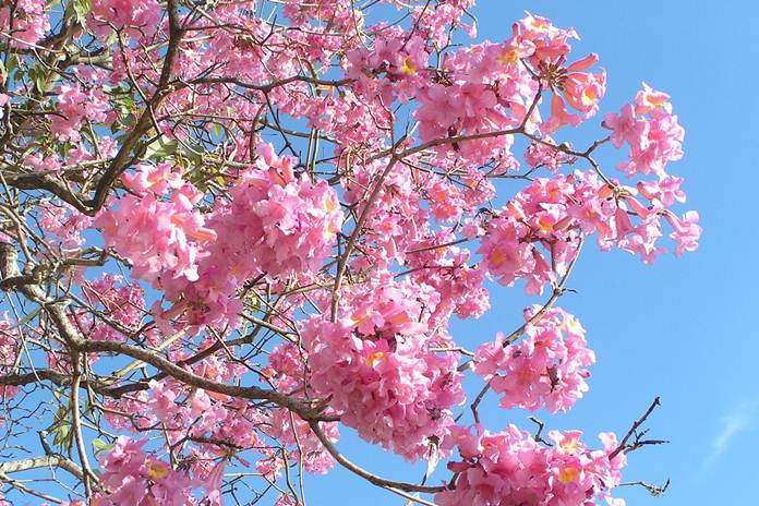 Bunga tabebuya