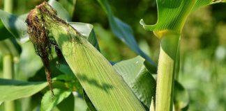 pupuk untuk tanaman jagung