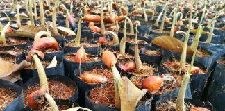 menanam durian dari biji