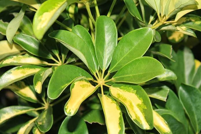 Bunga walisongo