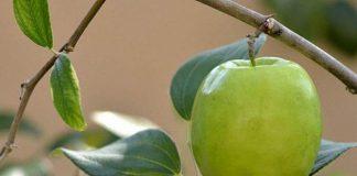 mencangkok apel india