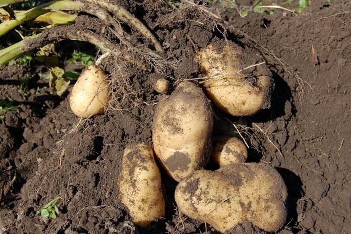merawat tanaman kentang di musim hujan