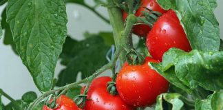 tomat pedas