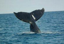perburuan paus
